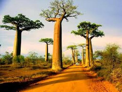Baobab Trees Facts