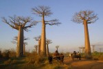 8 Facts about Baobab Trees