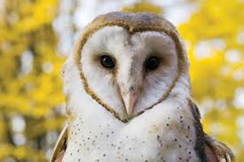 Barn Owls Cute