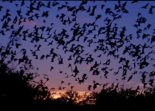 Bats Fly
