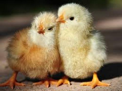 Facts about Baby Chickens