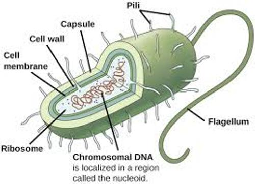 Facts about Bacterial Cells