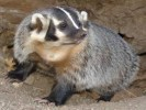 10 Facts about Badgers