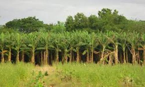 Facts about Banana Trees