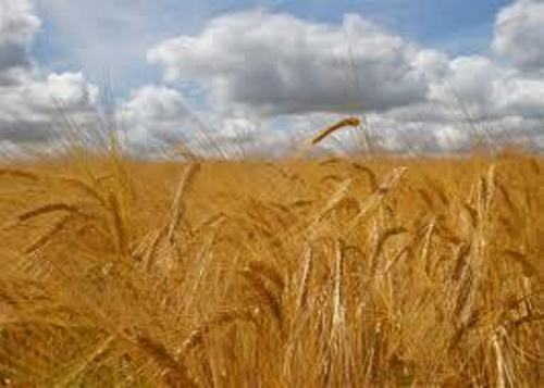 Facts about Barley Field
