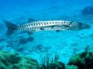 10 Facts about Barracudas