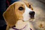 10 Facts about Beagles