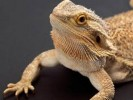 10 Facts about Bearded Dragons