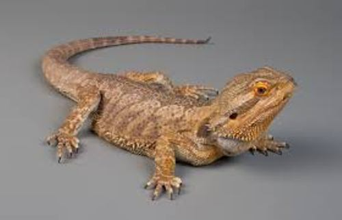 Bearded Dragon Pictures