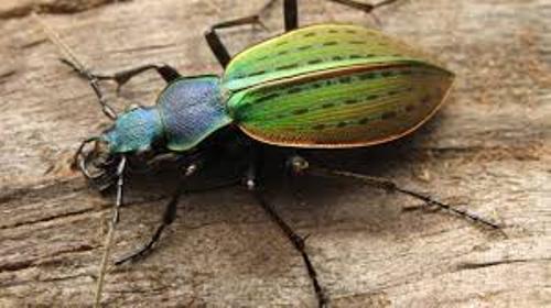 Beetle Color