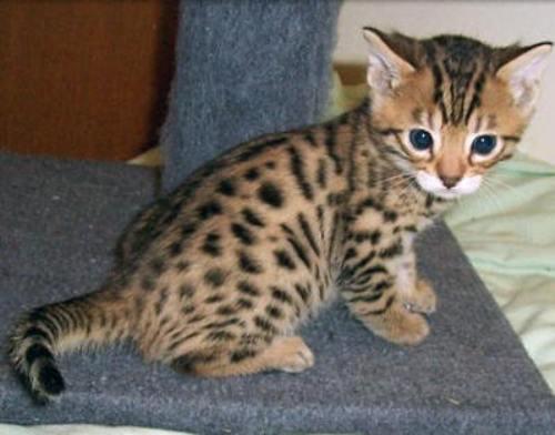 Bengal Cat Pic