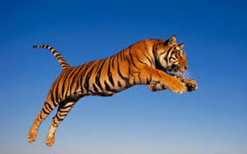 Bengal Tiger Jumps