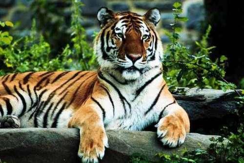 Bengal Tiger Pic