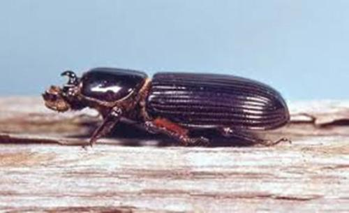 Bess Beetle Facts