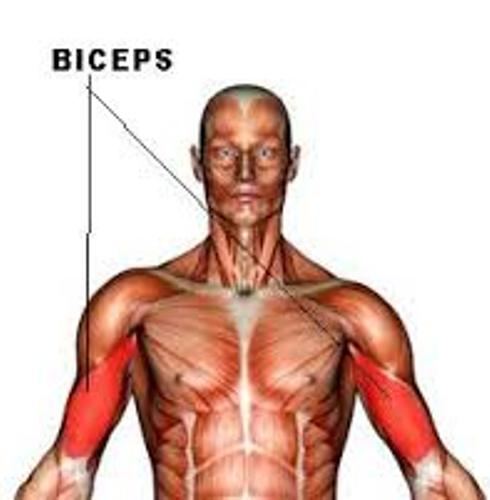 Biceps Location