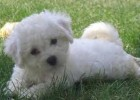 10 Facts about Bichon
