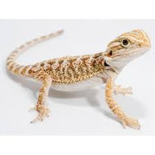 Facts about Bearded Dragons