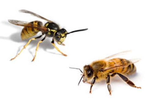 Facts about Bees and Wasps