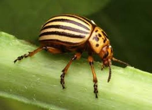 Facts about Beetle
