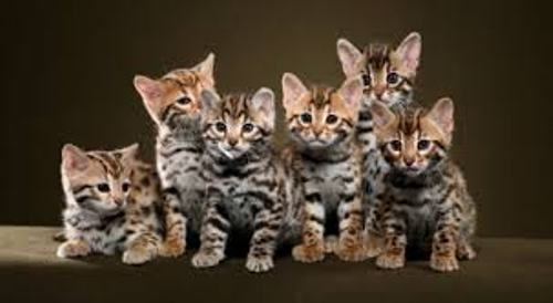Facts about Bengal Cats