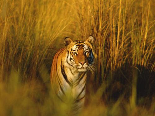 Facts about Bengal Tigers