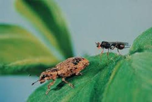 Biological Control Pic