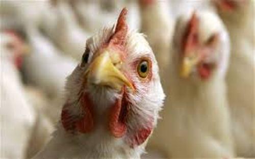 Bird Flu Image
