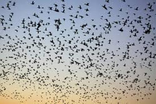 Bird Migration Pic