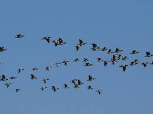 Bird Migration Picture
