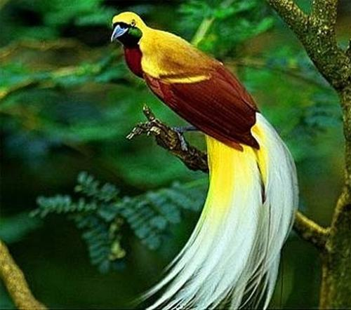 Birds of Paradise Facts