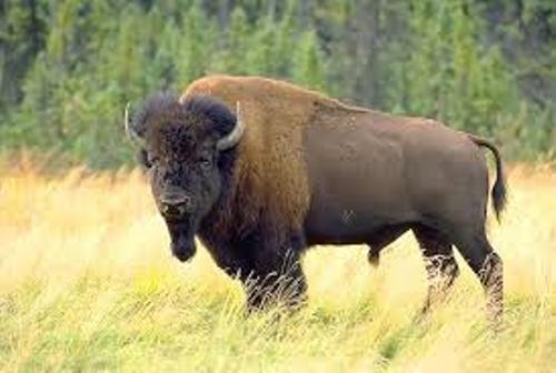 Bison Animal