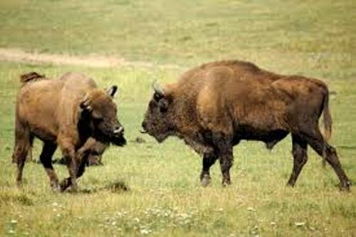 Bison Pic