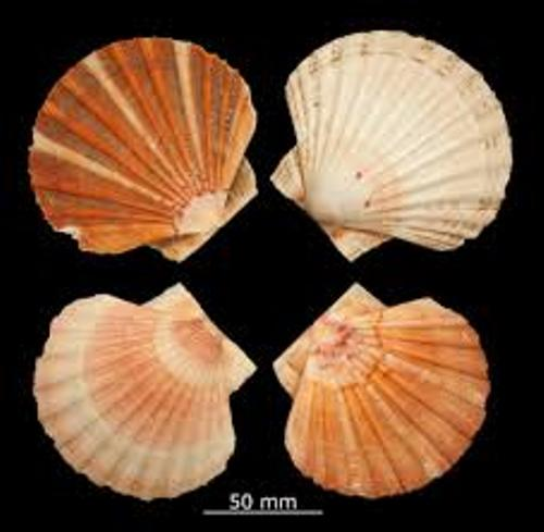Bivalve Sizes
