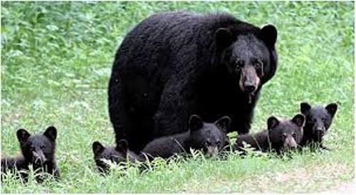 Black Bear Images