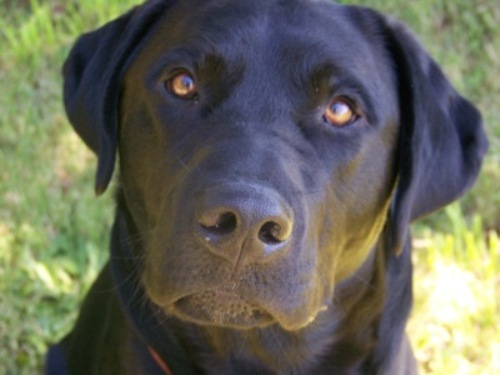 10 Facts About Black Labs