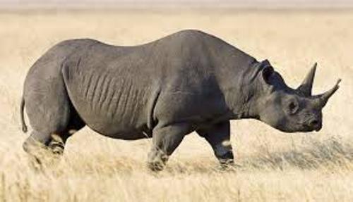 Black Rhino Pic