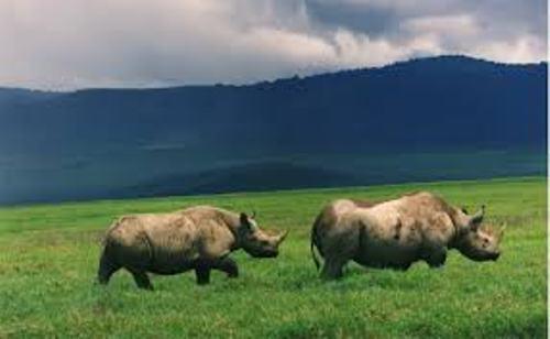 Black Rhinos