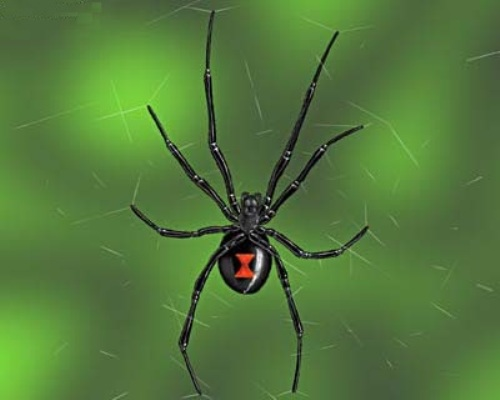 Black Widow Spiders Facts