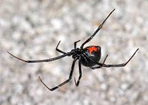 Black Widow Spiders Webs