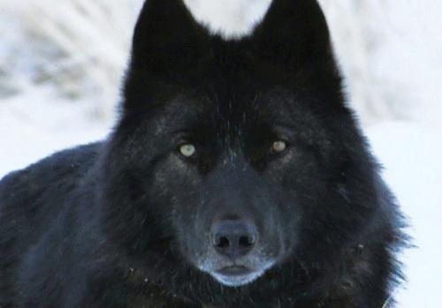 Black Wolf Pic