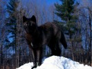 10 Facts about Black Wolves