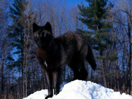 Black Wolves Facts