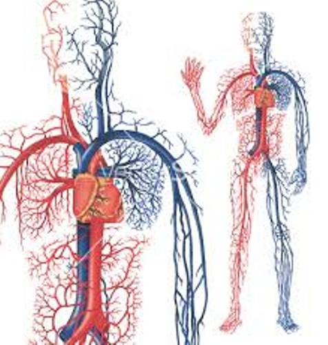 Facts about Blood Circulation