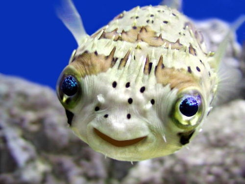 Blowfish Smiles
