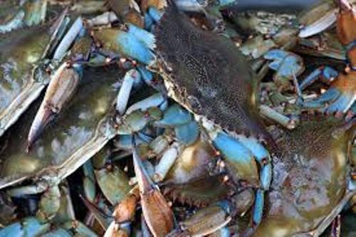 Blue Crab Pic