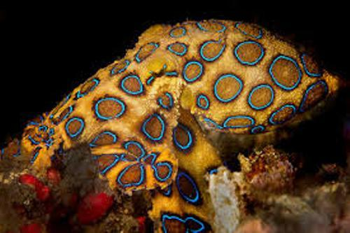 Blue Ringed Octopus Pic