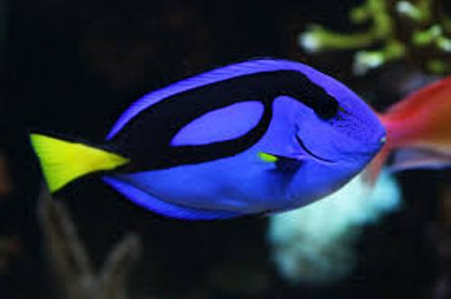 Blue Tang Fish Facts