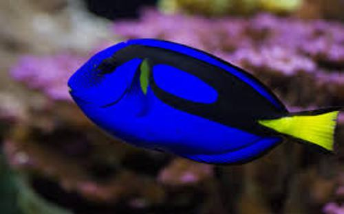Blue Tang Fish Pic