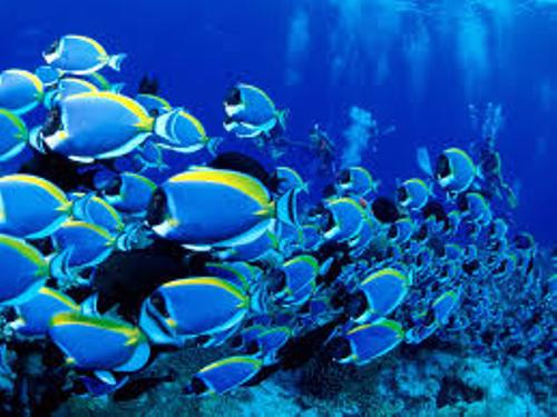 Blue Tang Fish School