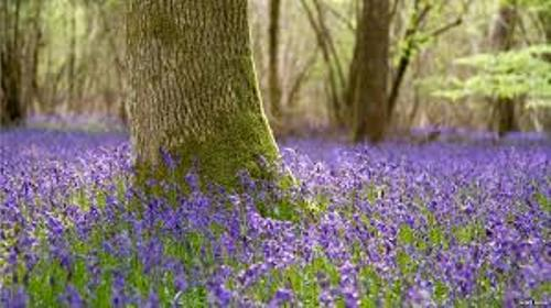 Bluebells Carpet